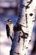 HAIRY WOODPECKER ON ASPEN, IN WINTER, LANGHAM