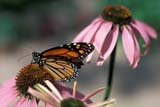 BUT MON MIS  ON  LDL1000090DMONARCH BUTTERFLY (DANAUS PLEXIPPUS), PURPLE CONEFLOWERPORT PERRY                          08/..© L. DIANE LACKIE                ALL RIGHTS RESERVEDBUTTERFLIES;CENTRAL;CONEFLOWERS;FLOWERS;INSECTS;MONARCH_BUTTERFLY;ON_;ONTARIO;PORT_PERRY;SUMMERLONE PINE PHOTO              (306) 683-0889