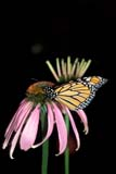 BUT MON MIS  ON  LDL1000093D  VTMONARCH BUTTERFLY (DANAUS PLEXIPPUS), PURPLE CONEFLOWERPORT PERRY                          08/..© L. DIANE LACKIE                ALL RIGHTS RESERVEDBULLETINS;BUTTERFLIES;CENTRAL;CONEFLOWERS,FLOWERS;INSECTS;MONARCH_BUTTERFLY;ON_;ONTARIO;PORT_PERRY;SUMMER;VTLLONE PINE PHOTO              (306) 683-0889