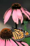 BUT MON MIS  ON  LDL1000229D  VTMONARCH BUTTERFLY FEEDING ON PURPLE CONEFLOWERPORT PERRY                           05..© L. DIANE LACKIE                 ALL RIGHTS RESERVEDBULLETINS;BUTTERFLIES;CENTRAL;CONEFLOWERS,FLOWERS;INSECTS;MONARCH_BUTTERFLY;ON_;ONTARIO;PORT_PERRY;SPRING;VTL;WILDFLOWERSLONE PINE PHOTO                (306) 683-0889