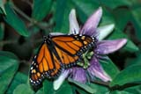 BUT MON MIS  ON  LDL1000292DMONARCH BUTTERFLY ON PASSION FLOWERNIAGARA FALLS                   03/..© L. DIANE LACKIE               ALL RIGHTS RESERVEDBUTTERFLIES;CENTRAL;FLOWERS;INSECTS;MONARCH_BUTTERFLY;NIAGARA_BUTTERFLY_CONSERVATORY;NIAGRA_FALLS;ON_;ONTARIO;PASSION_FLOWER;SPRINGLONE PINE PHOTO              (306) 683-0889
