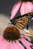 BUT MON MIS  ON  LDL1000366D  VTMONARCH BUTTERFLY, WINGS CLOSED ON PURPLE CONEFLOWERPORT PERRY                          08/..© L. DIANE LACKIE                ALL RIGHTS RESERVEDBUTTERFLIES;CENTRAL;CONEFLOWERS,FLOWERS;INSECTS;MONARCH_BUTTERFLY;ON_;ONTARIO;PORT_PERRY;SPRING;VTL;WILDFLOWERSLONE PINE PHOTO              (306) 683-0889
