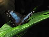BUT MOR BLU  BC  WFS06E1643DXBLUE MORPHO BUTTERFLYVANCOUVER AQUARIUM VANCOUVER                       08..© WILLIAM F. SMITH            ALL RIGHTS RESERVEDALPINE;BC_;BLUE_MORPHO_BUTTERFLY;BRITISH;BRITISH_COLUMBIA;BUTTERFLIES;COLUMBIA;CORDILLERA;INSECTS;PACIFIC;VANCOUVER;VANCOUVER_AQUARIUM;WEST_COASTLONE PINE PHOTO              (306) 683-0889