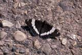 BUT ADM WHI  SK     0910437DWHITE ADMIRAL BUTTERFLY ON GRAVELEMMA LAKE                         07/..© CLARENCE W. NORRIS      ALL RIGHTS RESERVEDBUTTERFLIES;EMMA_LAKE;INSECTS;PARKLAND;PLAINS;PRAIRIES;SASKATCHEWAN;SK_;SUMMER;WHITE_ADMIRAL_BUTTERFLYLONE PINE PHOTO              (306) 683-0889