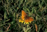 BUT FRI CAL  SK     1506755DCALLIPPE FRITILLARY BUTTERFLY(SPEYERIA CALLIPPE)CYPRESS HILLS                     0716© CLARENCE W. NORRIS        ALL RIGHTS RESERVEDBUTTERFLIES;CALLIPPE_FRITILLARY_BUTTERFLY;CYPRESS_HILLS;FRITILLARIES;INSECTS;PATTERNS;PLAINS;PLATEAU;PRAIRIES;SASKATCHEWAN;SK_;SUMMERLONE PINE PHOTO                (306) 683-0889