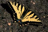 BUT SWA TIG  SK     0910478DWESTERN TIGER SWALLOWTAIL BUTTERFLY ON LEAVESSASKATOON                       06/..© CLARENCE W. NORRIS      ALL RIGHTS RESERVEDBUTTERFLIES;INSECTS;PLAINS;PRAIRIES;SASKATCHEWAN;SASKATOON;SK_;SUMMER;SWALLOWTAILS;WESTERN_TIGER_SWALLOWTAIL_BUTTERFLYLONE PINE PHOTO              (306) 683-0889