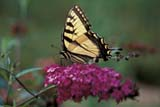 BUT SWA WES  ON  BMM1000746DWESTERN TIGER SWALLOWTAIL BUTTERFLY ON FLOWERTORONTO                             07/..© BEV MCMULLEN               ALL RIGHTS RESERVEDBUTTERFLIES;CENTRAL;INSECTS;ON_;ONTARIO;SUMMER;SWALLOWTAILS;TORONTO;WESTERN_TIGER_SWALLOWTAIL_BUTTERFLYLONE PINE PHOTO              (306) 683-0889