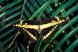 BUT SWA WES  ON  BMM1001214DWESTERN TIGER SWALLOWTAIL BUTTERFLYONTARIO                               07/..© BEV MCMULLEN                ALL RIGHTS RESERVEDBUTTERFLIES;CENTRAL;INSECTS;ON_;ONTARIO;SUMMER;SWALLOWTAILS;WESTER_TIGER_SWALLOWTAIL_BUTTERFLYLONE PINE PHOTO              (306) 683-0889