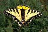 BUT SWA WES  AB  REH1000624DWESTERN TIGER SWALLOWTAIL BUTTERFLY(PAPILIO GLAUCUS)CYPRESS HILLS INTERPROV PK  05..© ROYCE HOPKINS                    ALL RIGHTS RESERVEDAB_;ALBERTA;BUTTERFLIES;CYPRESS_HILLS_PP;INSECTS;PATTERNS;PLAINS;PLATEAU;PRAIRIES;PP_;SPRING;WESTERN_TIGER_SWALLOWTAIL_BUTTERFLYLONE PINE PHOTO                (306) 683-0889