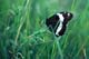 WHITE ADMIRAL BUTTERFLY, WARMAN
