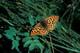CALLIPPE FRITILLARY BUTTERFLY, CYPRESS HILLS INTERPROVINCIAL PARK