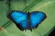 BLUE MORPHO BUTTERFLY, CANO PALMA RESEARCH STATION, COSTA RICA