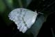 GHOST MORPHO BUTTERFLY, NIAGARA BUTTERFLY CONSERVATORY, NIAGARA FALLS