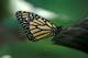MONARCH BUTTERFLY, NIAGARA BUTTERFLY CONSERVATORY, NIAGARA FALLS