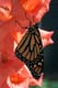 MONARCH BUTTERFLY, MUSKOKA