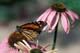 MONARCH BUTTERFLY, PURPLE CONEFLOWER, PORT PERRY