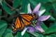 MONARCH BUTTERFLY ON PASSION FLOWER, NIAGRA FALLS
