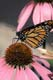 MONARCH BUTTERFLY, WINGS CLOSED ON PURPLE CONEFLOWER, PORT PERRY