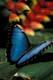 BLUE MORPHO BUTTERFLY, NIAGARA BUTTERFLY CONSERVATORY, NIAGARA FALLS