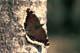 MOURNING CLOAK BUTTERFLY, SASKATOON