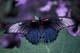 RUMANZOVIA SWALLOWTAIL BUTTERFLY, NIAGARA FALLS