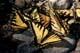 WESTERN TIGER SWALLOWTAIL BUTTERFLIES FEEDING, WATERTON LAKES NATIONAL PARK