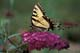 WESTERN TIGER SWALLOWTAIL BUTTERFLY ON FLOWER, TORONTO