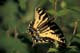 TIGER SWALLOWTAIL BUTTERFLY, SASKATOON