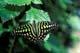 TAILED JAY BUTTERFLY, NIAGARA BUTTERFLY CONSERVATORY,NIAGARA FALLS