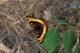 MILBERT'S TORTOISESHELL BUTTERFLY, PRINCE ALBERT NATIONAL PARK