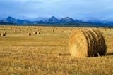 CAL AUT SCE  AB  DSR1001348DROUND BALES IN AUTUMN FIELDS ROCKIES IN DISTANCEPINCHER CREEK                   09/..© DUANE S. RADFORD         ALL RIGHTS RESERVEDAB_;ALBERTA;ALPINE;AUTUMN;BALES;CAL_AB;CALENDARS;FARMING;FIELDS;FOOTHILLS;MOUNTAINS;PINCHER_CREEK;PLAINS;PRAIRIES;ROCKIES;ROUND;RURAL;SCENESLONE PINE PHOTO              (306) 683-0889