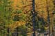 TAMARACK (LARCHES) IN AUTUMN, PURCELL MOUNTAINS