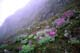 LUPINES NEAR COMOX GLACIER, VANCOUVER ISLAND, STRATHCONA PROVINCIAL PARK