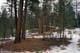 PONDEROSA PINES IN MELTING SNOW, KIKOMUN CREEK PROVINCIAL PARK