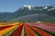 MT. CHEAM WITH IRRIGATION AND TULIPS, ROSEDALE