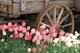TULIPS AND WAGON WHEEL, ROSEDALE