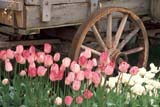 CAL SUM  SCE  BC     WFS1000090DTULIPS AND WAGON WHEELROSEDALE                           ../..           © WILLIAM F. SMITH            ALL RIGHTS RESERVEDALPINE;BC_;BRITISH;BRITISH_COLUMBIA;CAL_BC;CALENDARS;COLUMBIA;CORDILLERA;FLOWERS;GEOMETRY;ROSEDALE;RURAL;SCENES;SPRING;TULIPS;WAGONS;WHEELSLONE PINE PHOTO                  (306) 683-0889