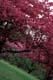 CHERRY TREES IN BLOOM, NIAGARA FALLS