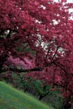 CAL SPR SCE  ON  BMM1000089D  VTCHERRY TREES IN BLOOMNIAGARA FALLS                  ....© BEV McMULLEN               ALL RIGHTS RESERVEDBULLETINS;CAL_ON;CALENDARS;CENTRAL;CHERRY;FLOWERS;FRUIT_TREES;NIAGARA_FALLS;ON_;ONTARIO;SCENES;SPRING;TREES;VTLLONE PINE PHOTO              (306) 683-0889