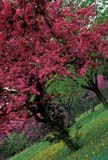 CAL SPR SCE  ON  BMM1000090D  VTCHERRY TREES IN BLOOMNIAGARA FALLS                   ....© BEV McMULLEN               ALL RIGHTS RESERVEDCAL_ON;CALENDARS;CENTRAL;CHERRY;FLOWERS;FRUIT_TREES;NIAGARA_FALLS;ON_;ONTARIO;SCENES;SPRING;TREES;VTLLONE PINE PHOTO              (306) 683-0889