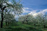 CAL SPR SCE  ON  LDL1000142DAPPLE BLOSSOMS IN SPRINGSCUGOG                               05/..             © L. DIANE LACKIE                ALL RIGHTS RESERVEDAPPLES;CAL_ON;CALENDARS;CENTRAL;FARMING;FLOWERS;FRUIT;FRUIT_TREES;ON_;ONTARIO;ORCHARDS;SCENES;SCUGOG;SPRING;TREESLONE PINE PHOTO              (306) 683-0889