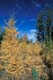 AUTUMN TREES, TAMARACKS, RIDING MOUNTAIN NATIONAL PARK