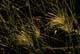 DEW ON BACKLIT GRASSES, EMMA LAKE