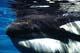 ORCA OR KILLER WHALE, STANLEY PARK AQUARIUM, VANCOUVER