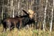BULL MOOSE, RIDING MOUNTAIN NATIONAL PARK