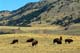 BISON FEEDING IN FOOTHILLS, YELLOWSTONE NATIONAL PARK