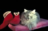 CAL ANI CAT  ON  LDL1000013DCAT AND SLIPPERS ON CUSHION ONTARIO                            ....© L. DIANE LACKIE               ALL RIGHTS RESERVEDANIMALS;CAL_ANIMALS;CALENDARS;CATS;CENTRAL;CLOTHING;ON_;ONTARIO;PETSLONE PINE PHOTO              (306) 683-0889