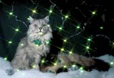 CAL ANI CAT  ON  LDL1000145DTWO CATS POSE WITH CHRISTMAS TRIMGREEN STARRED LIGHTSPORT PERRY                        12..© L. DIANE LACKIE               ALL RIGHTS RESERVEDANIMALS;CAL_ANIMALS;CALENDARS;CATS;CENTRAL;CHRISTMAS;EVENTS;LIGHTS;ON_;ONTARIO;PETS;PORT_PERRY;WINTERLONE PINE PHOTO              (306) 683-0889