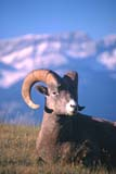 CAL ANI AUT  AB  DSR1000502D  VTBIGHORN SHEEP RAMJASPER NATIONAL PARK         10..© DUANE S. RADFORD            ALL RIGHTS RESERVEDAB_;ALBERTA;ALPINE;ANIMALS;BIGHORN_SHEEP;BULLETINS;CAL_ANIMALS;CALENDARS;CORDILLERA;JASPER_NP;NP_;RAMS;ROCKIES;ROCKY_MOUNTAINS;SCENES;SHEEP;VTLLONE PINE PHOTO                  (306) 683-0889