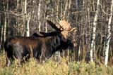 CAL ANI AUT  MB  PNB1000027DBULL MOOSE(ALCES PELCES)RIDING MOUNTAIN NAT PK    071© PAUL BROWNE                ALL RIGHTS RESERVEDANIMALS;ANTLERS;AUTUMN;BOREAL;CAL_ANIMALS;CALENDARS;MALE;MANITOBA;MB_;MOOSE;NP_;PARKLAND;PLAINS;PLATEAU;PRAIRIES;RIDING_MOUNTAIN_NPLONE PINE PHOTO              (306) 683-0889